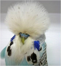 Cinnamon Skyblue Budgerigar