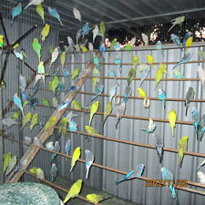 Budgerigars in Aviary